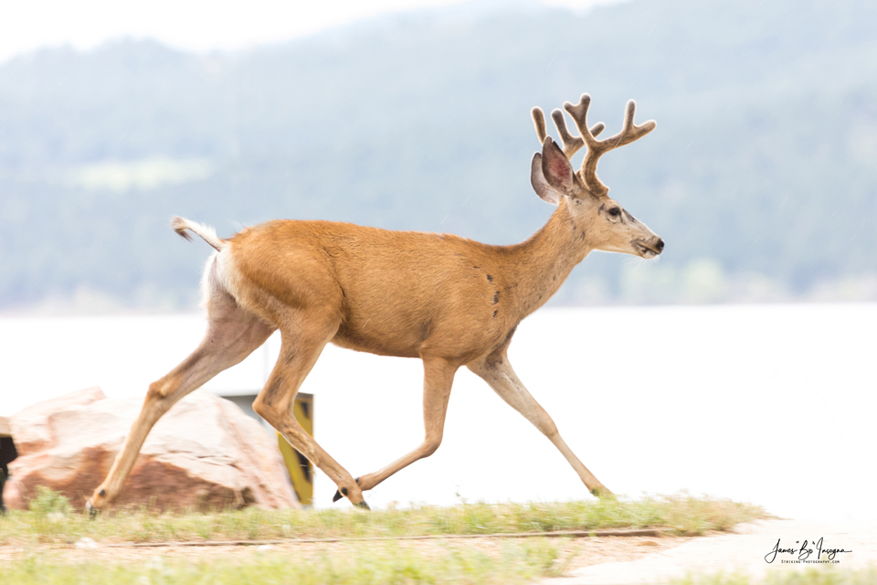 Buck On The Run Art Print - Colorado Camping